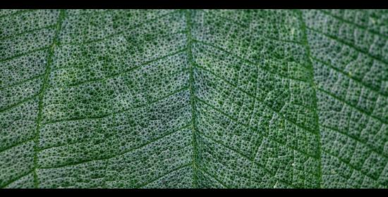 picture of a leaf close up with veins